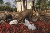 Wild pig family in abandon village — Stock Photo