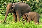 Mother and baby elephant with the chain in norht of Thailand. — Stock Photo