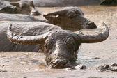Thai buffalo — Stock Photo