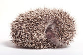 Hedgehog sleeping isolate on white background — Stock Photo