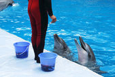 Trainer feeding dolphins — Stock Photo
