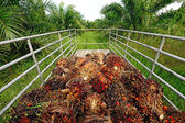 Fresh palm oil fruit from truck. — Stock Photo