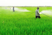 Farmer spray pesticide on the rice field — Stock Photo