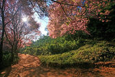 Sakura pink flower on mountain in thailand, cherry blossom — Stock Photo