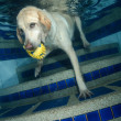 Beautiful Labrador retriever diving underwater — Stock Photo