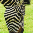 Zebra grazing in a green field — Foto Stock