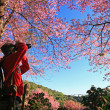 Stock Photo: Sakurpink flower on mountain in thailand, cherry blossom