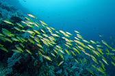 Yellow runner school fish in Similan, Thailand — Stock Photo