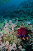 A Crown-of-thorns seastar (Acanthaster planci) feeds on live cor — Foto Stock