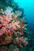 Soft coral colony , Similan island Thailand — Stock Photo