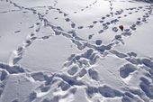 Footsteps on the snow. Leh, India. — Stock Photo