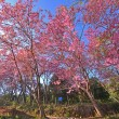 Постер, плакат: Wild Himalayan Cherry Prunus cerasoides in Khun Wang Doi Inth