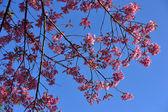 土井 inth クン王の野生のヒマラヤ桜 (ヒマラヤザクラ — ストック写真
