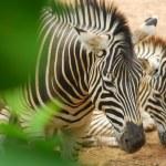 Zebra behind bush — Stock Photo #42616857