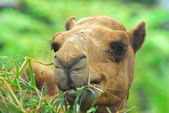 Close up of camel is eating grass  — Stock Photo