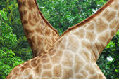 Neck of a giraffe with tree background — Stock Photo