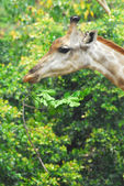 Young adult giraffe eating leaves  — Foto de Stock