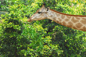Young adult giraffe eating leaves  — Stock Photo