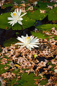 White lotus flowers with dry flower background in the lake  — Stockfoto