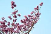 Pink flowers Tabebuia rosea blossom — Stock Photo