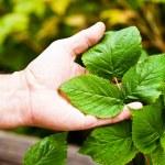 Raspberry bush — Stock Photo