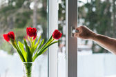 Window with tulips — Stockfoto