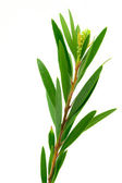 Willow tree leaves isolated on white background. — Stock Photo