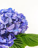 Blue Hydrangea Flower isolated on white background. — Stock Photo