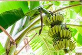 Banán strom s trs banánů — Stock fotografie
