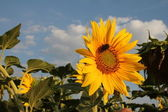 Sunflower mon amour — Stock Photo