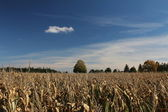 Field of corn in autumn — Stock Photo