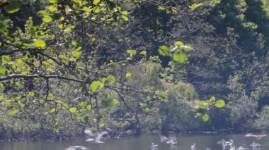 Couple of swans swimming in a pond with their cygnets, with seagulls flying behind — Stock Video