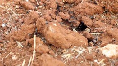 Einfahrt mit arbeiten ameisen ameisenhaufen — Stockvideo