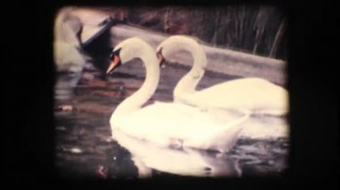 Vintage 8mm. Swans in a pond — Stock Video
