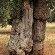 Stock Photo: Odd shaped olive tree