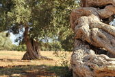 Detail of a twisted olive tree trunk — Stock Photo