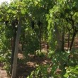 Rows of grape vines — Stock Video #16316583