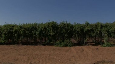 Rows of grape vines in the wind — Stock Video