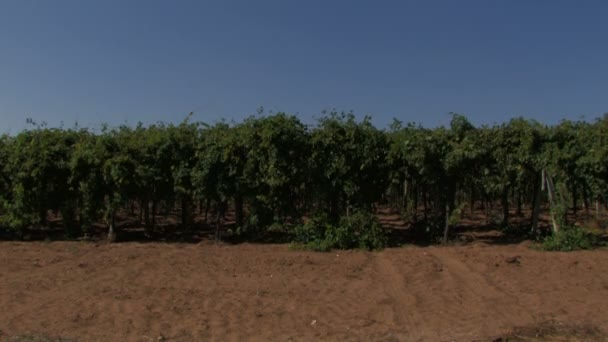 Hileras de vides de uva en el viento — Vídeo de stock