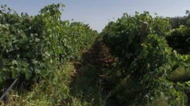 Rows of organic grape vines — Stock Video