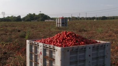 Large crates of tomatoes — Stock Video