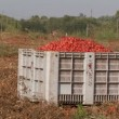 Large crate of tomatoes — Vídeo Stock #16681457