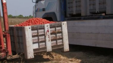 Tractor loading crates of tomatoes — Stock Video