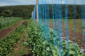 Field of peas, with strings — Stock Photo