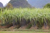 Rows of sugar cane — Stock Photo