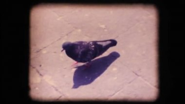 Vintage 8mm. Pigeon walking — Stock Video