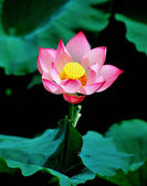 A pink lotus flower, vietnam's flower — Stock Photo