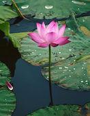 Lotus flower in water — Stock Photo