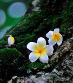Champa flowers — Stock Photo
