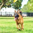Puppy running at the park — Stock Photo